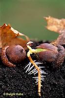 TT18-041b  Oak - acorn germinating, soil profile, roots - Quercus spp.