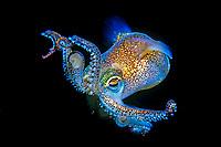 bobtail squid or dumpling squid, Euprymna morsei, Tsuruga, Fukui, Japan, Pacific Ocean