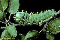 LE26-001a  Cecropia Moth - caterpillar- Hyalophora cecropia