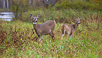 White-tailed doe and her buck fawn in a northern Wisconsin field.