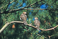 Juvenile Cooper's Hawks, surveying their new world. Delaware Water Gap, New Jersey