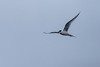 White-fronted Tern (Sterna striata aucklandorna) foraging in Carnley Harbour in the Aukland Islands, New Zealand.