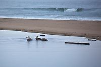 Three Brown pelicans floating in the lagoon with a stretch of sand between them, in their serene setting, and the rolling Pacific waves off California's coast.