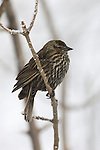 Portrait of a PIne Siskin perched on a branch in Wood River, Nebraska.