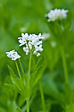 Sweet woodruff (Galium odoratum), mid April. A wildflower often found in chalk woodlands.