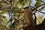 Black-Crowned Night Heron in a tree, Newport Beach California. Photograph by Cari Garfield.