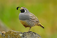 Male California Quail (Callipepla californica), also known as the California Valley Quail or Valley Quail.  Pacific Northwest.  Spring.