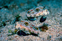 Two Crab-eye goby, Signigobius biocellatus, Papua New Guinea, Neu Britannien, New Britain