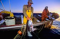 Gill net fishermen haul pelagic thresher shark, Alopias pelagicus, on board, Huatabampo, Mexico, Sea of Cortez, Pacific Ocean