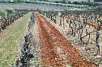 Chateau Peuch-Haut, St Drezery. Gres de Montpellier. Languedoc. Vines trained in Cordon pruning. Terroir soil. France. Europe.