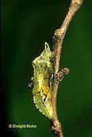 BW01-018b  Cabbage White Butterfly chrysalis - Pieris rapae.
