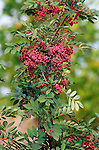 9520-CC Coral Fire Mountain Ash, Sorbus hupehensis `Coral Fire', fruit, foliage, at Dayton, Oregon