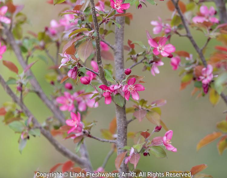 Flowering crab apple tree in northern Wisconsin.