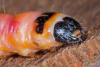 Weidenbohrer, holzfressende Raupe vom Schmetterling, Weiden-Bohrer, Cossus cossus, goat moth
