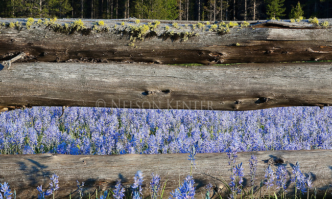 Wild camas flowers growing in open grassy meadows in western Montana looking through an old log rail fence