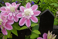 Clematis Josephine aka Evijohill climbing black picket fence, pink double flowered vine perennial