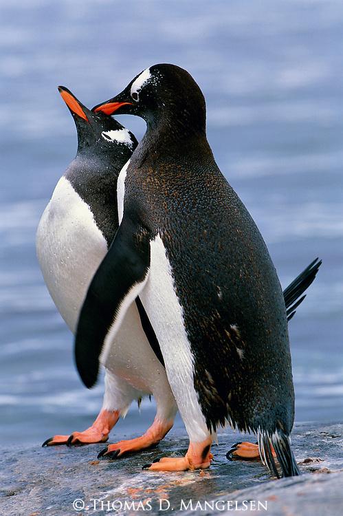 Gentoo penguins reinforce their pair bond on Cuverville Island, Antarctic Peninsula.