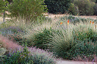 Muhlenbergia dubia (Pine Muhly) bunch grasses in naturalistic meadow garden landscaping by pathways at University of California Davis campus