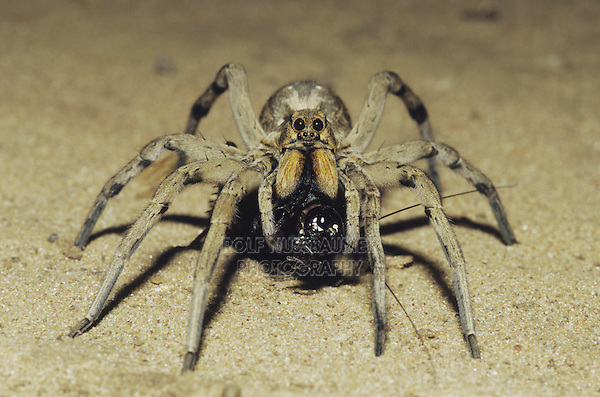 Wolf Spider (Lycosidae), adult with cricket prey, Starr County, Rio Grande Valley, Texas, USA