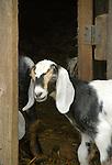 Steam Valley Fiber Farm. Nubian goat kid