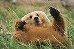 Brown bear, Katmai National Park, Alaska, USA