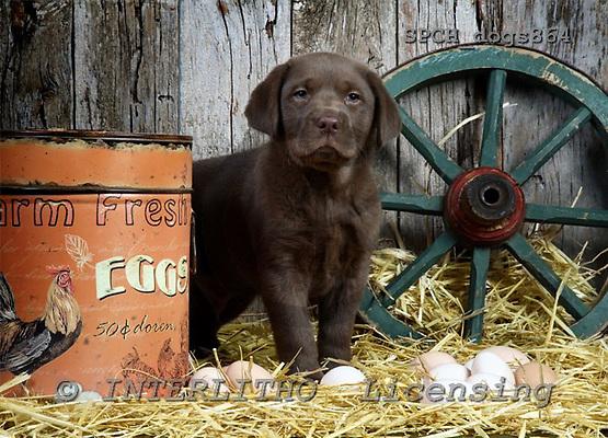 Xavier, ANIMALS, dogs, photos+++++,SPCHDOGS864,#a# Hunde, perros