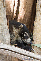 0717-1103  White-nosed Coati (Pizote, Antoon, Tej—n), Resting in a Tree Cavity, Racoon Family, Arizona, Nasua narica  © David Kuhn/Dwight Kuhn Photography