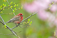 Male House Finch (Carpodacus mexicanus).  Spring.