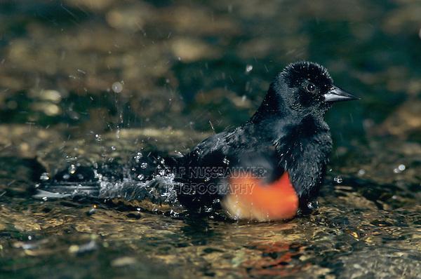 Red-winged Blackbird, Agelaius phoeniceus,male bathing, Laguna Atascosa National Wildlife Refuge, Rio Grande Valley, Texas, USA