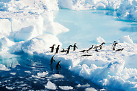 Adelie penguins, Pygoscelis adeliae, exiting the water, Cape Hallet, Antarctica