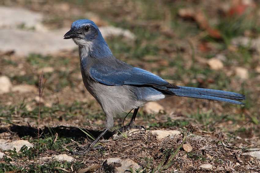You might see Western Scrub-Jays standing on the back of a mule deer. They're picking off and eating ticks and other parasites. The deer seem to appreciate the help, often standing still and holding up their ears to give the jays access.