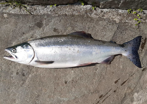 Pacific pink salmon caught from the Ridge Pool in the Moy Fishery on Sunday 27 June