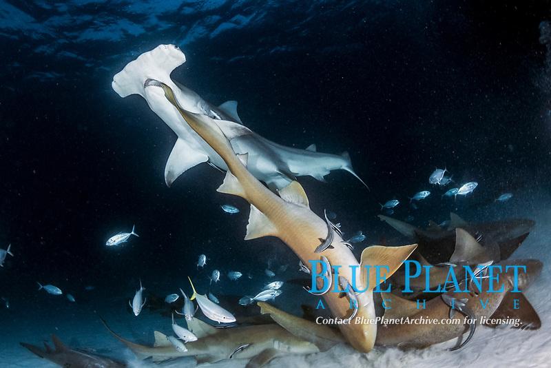 Great Hammerhead Shark - Sphyrna mokarran - biting the tail of a nurse shark - ginglymostoma cirratum - near South Bimini Island, Bahamas, Caribbean Sea, Atlantic Ocean