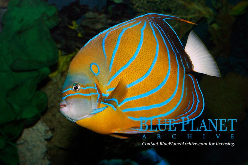 Bluering Angelfish (Pomecanthis annularis) (c)