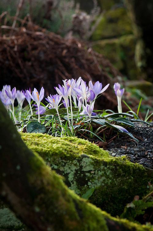 Crocuses, woodland, late February.