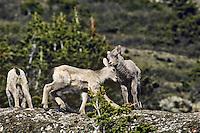 Bighorn sheep lambs playing, June