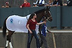 April 10, 2015: #5 Golden Medal Dancer before the running of the Apple Blossom Handicap at Oaklawn Park in Hot Springs, AR. Justin Manning/ESW/CSM