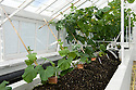 Two batches of glasshouse melons sown and planted at different times to ensure an early and a late crop. The main stems are trained up canes, with the laterals or sideshoots supported on horizontal wires. Terracotta collars protect the stems from rot.