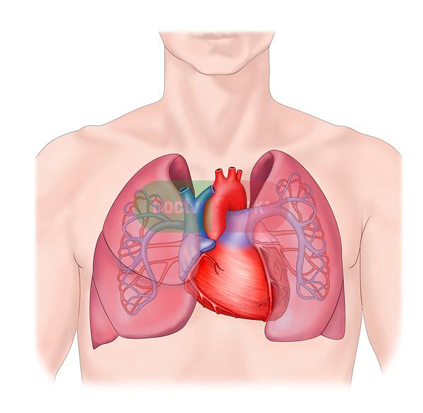 heart, lungs