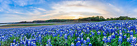 Bluebonnets at the Lake Sunset Pano - The Texas hill country dry river bed came back to life again after the waters went down along the colorado river this year and this field of bluebonnets was a site to see.  We capture this wonderful field of wildflowers just as the sunset over the trees tops with enough light left for the the flowers in a panorama.   Spring time in the Texas hill country can be magical if when fields of wildflowers appear in great numbers.  We live not far from here so we came here several times till word got out and the bluebonnet got trampled down. The texas hill country has been one of the best places to capture pictures of bluebonnets landscapes in the past and we can only hope forever. Taking pictures of bluebonnets is one of our favorite things to capture. There are many varieties of bluebonnets in Texas from the chiso bluebonnet, to the sandyland and of course the Lupinus texensis lupine,  has been the state flower since the 1901 and all other bluebonnets were included in 1971 by the Texas Legislature which made all lupines in the state the state flower.  For most the most popular is the Lupinus texensis or texas bluebonnet know for the white top which is said to look like a bonnet.  <br /> <br /> Buy Photos by BeeCreekPhotography, Fine Art,  Buy Art Online. Wall Art. Bluebonnet Landscapes, Flowers and more...