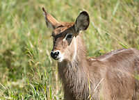 Female Common Waterbuck, Kobus ellipsiprymnus, in Tarangire National Park, Tanzania