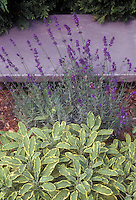 Culinary Sage Salvia officinalis Icterina herb with English lavender Lavandula angustifolia in flower planted togeter
