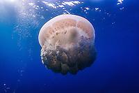 Portuguese Man'O'War jellyfish at Jardines de la Reina, Cuba