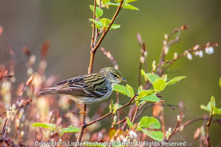 Blackpoll warbler in northern Wisconsin.