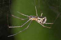 Filmy Dome Spider (Neriene radiata) - Female, West Harrison, Westchester County, New York