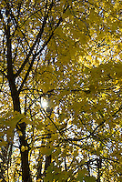 Sun shining through yellow leaves