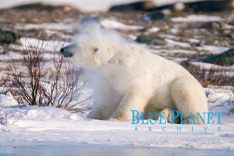 Adult male Polar Bear, Ursus maritimus, shaking like a dog after scratching his back on a willow tree near Churchill, northern Manitoba, Hudson Bay, Canada, polar bear, Ursus maritimus