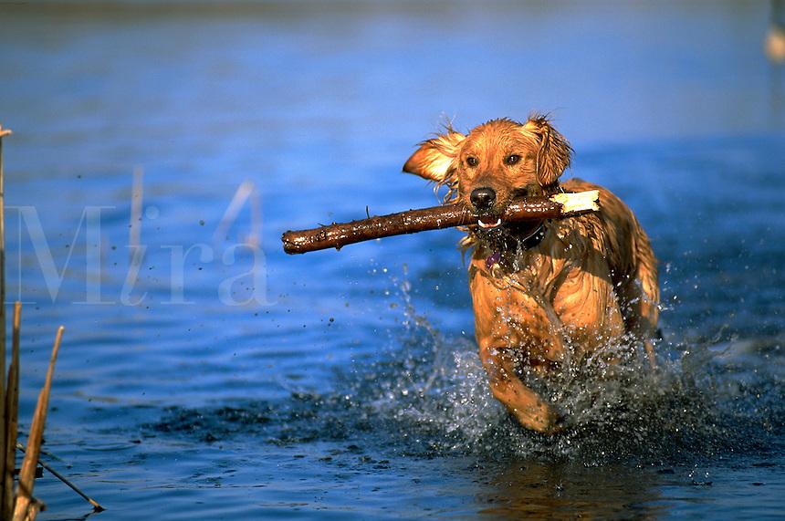 Portrait of a Golden Retriever dog running through water with a stick.
