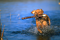 Portrait of a Golden Retriever dog running through water with a stick.