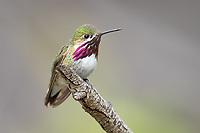 Calliope Hummingbird (Selasphorus calliope). Deschutes County, Oregon. May.